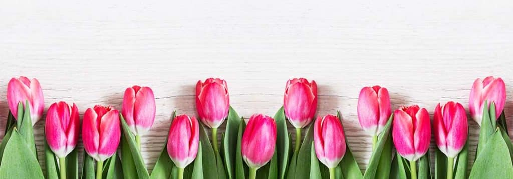 Flowers panoramic border of beautiful pink tulips on wooden background. Greeting card with tulips for Mothers day or Easter. Spring flowers concept.